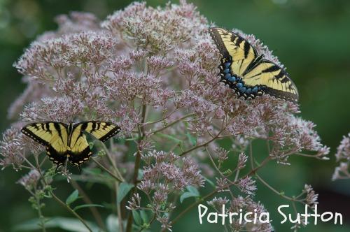 002 - TigerSwallowtail-w-sig
