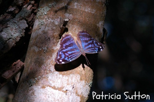 web-Mexican Bluewing