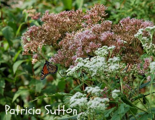 Monarch w-sig