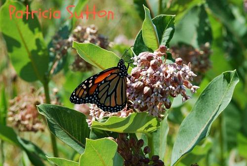 sm-Monarch-w-sig