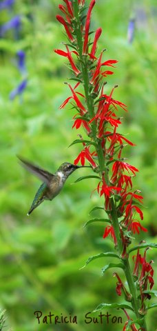 Cardinal Flower w-Ruby-thHummingbird by Patricia Sutton