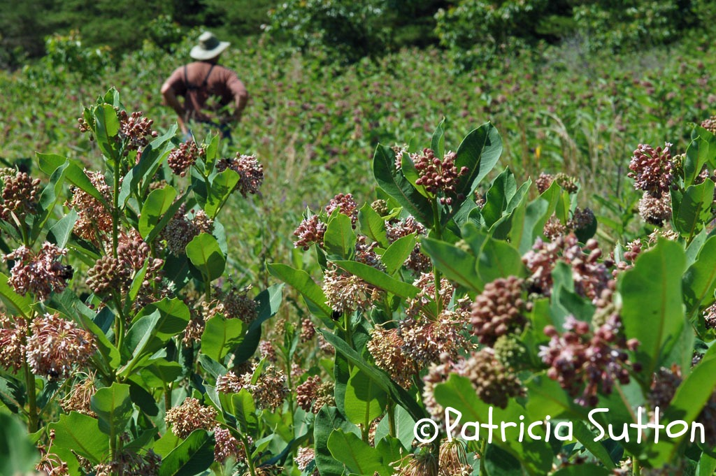 sm-Milkweed in FULL bloom-CumberlandCoCt-byPatSuttonw-sig