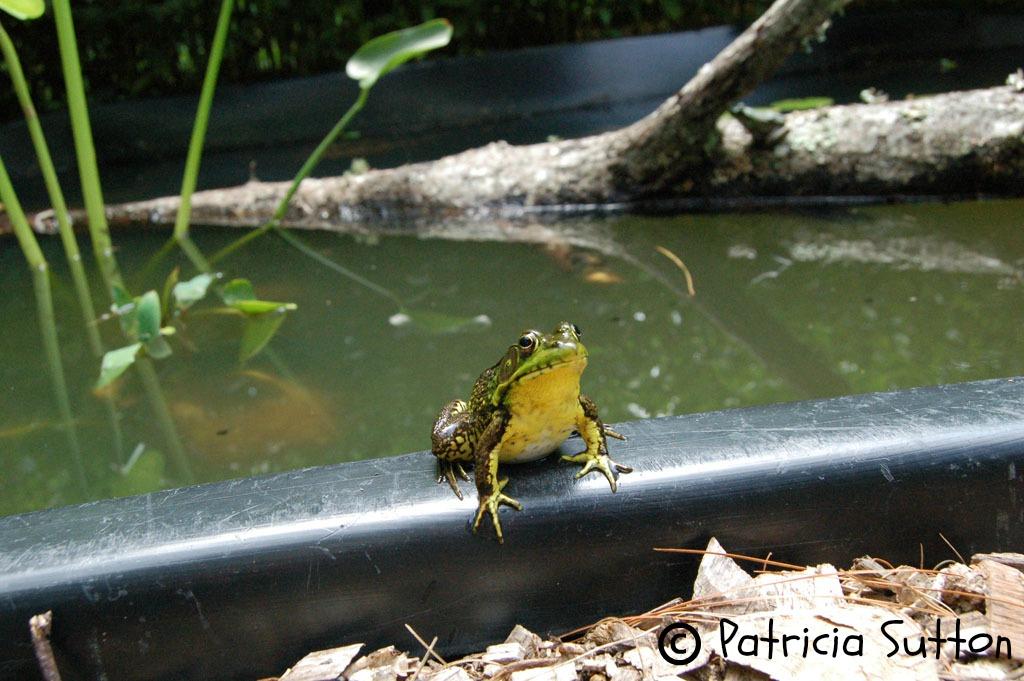 w-sig-sm-greenfrog-suttonpond-7-7-16
